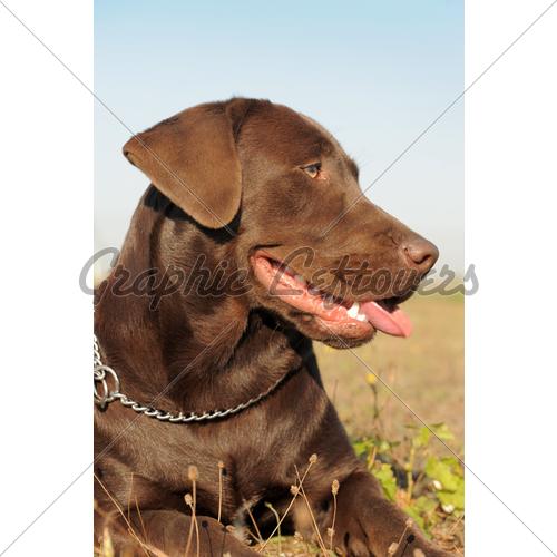 Cute Dogs Brown Labrador Retriever