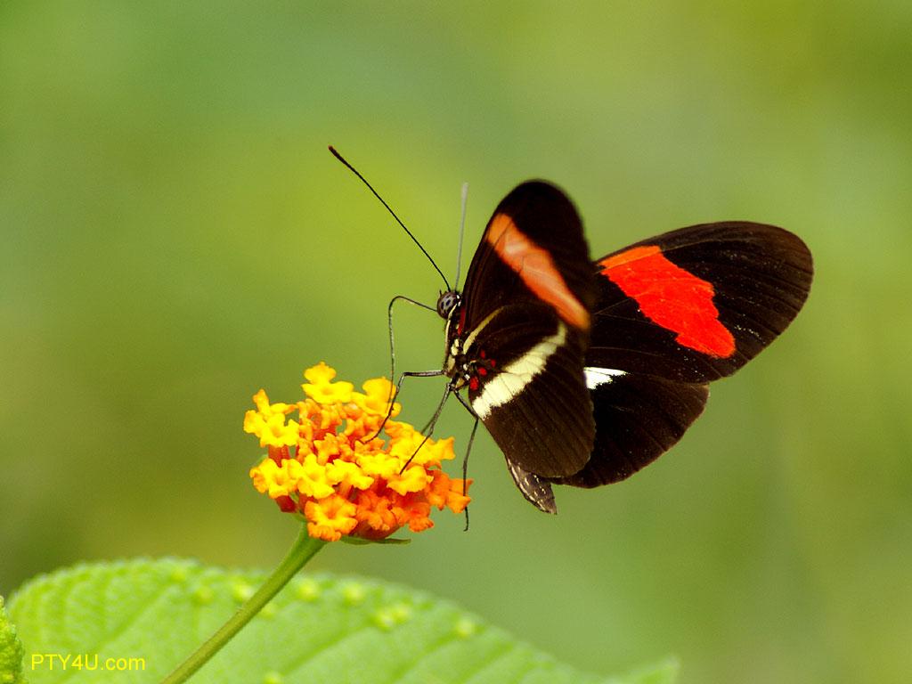 http://3.bp.blogspot.com/-4Bjahozl8u8/Tj5DCzGic8I/AAAAAAAAA5o/r0iE9Qsztvs/s1600/butterfly-02-panama-1024x76-355053.jpeg