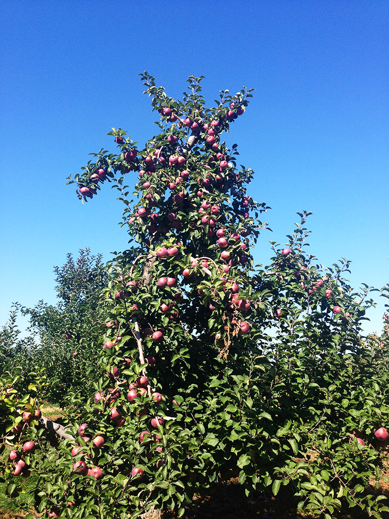 Bountiful apple tree full of macoun apples, Dressel Farms orchard, New Paltz