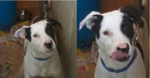 Adotta Un Cane A Siracusa Adottato Regalo Cucciolo Pit Bull Dogo