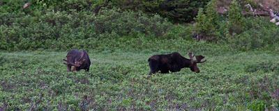 plural moose or mooses or meese, rocky mountain national park, CO, Colorado, Chris Baer