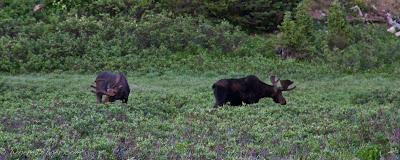 plural moose or mooses or meese, rocky mountain national park, CO, Colorado, Chris Baer