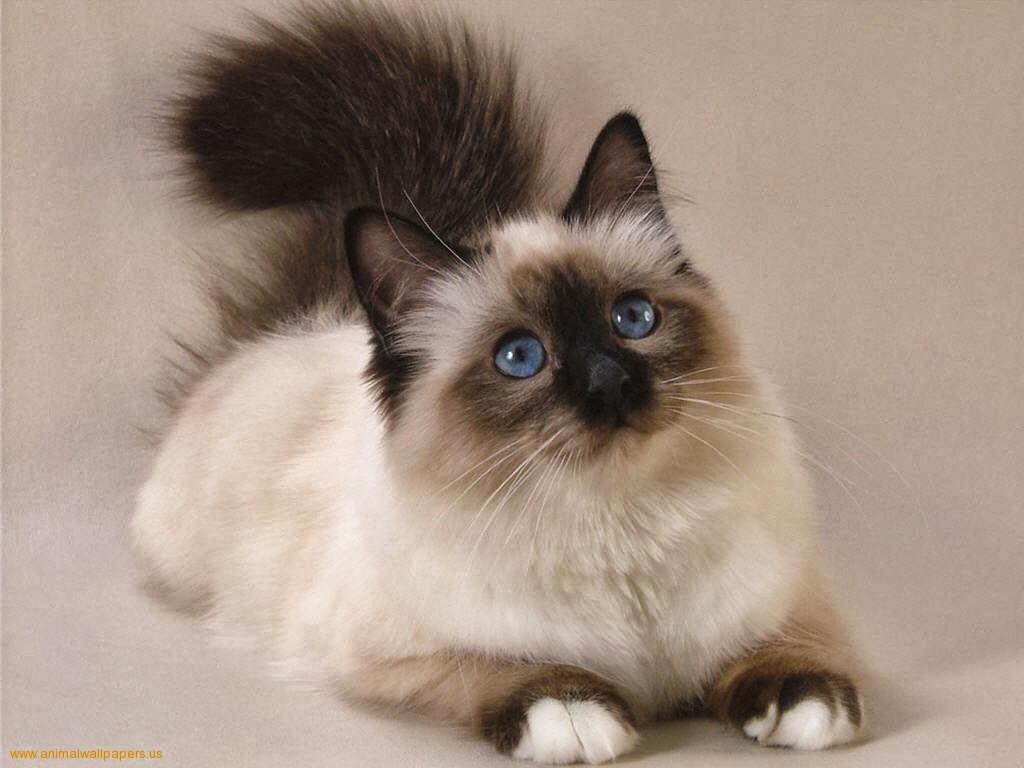 persian cats With their snub noses, chubby cheeks, and long hair, the persian cat is quite an exquisite breed they're also typically quiet and affectionate cats who enjoy being held, but they're content just lounging around too.