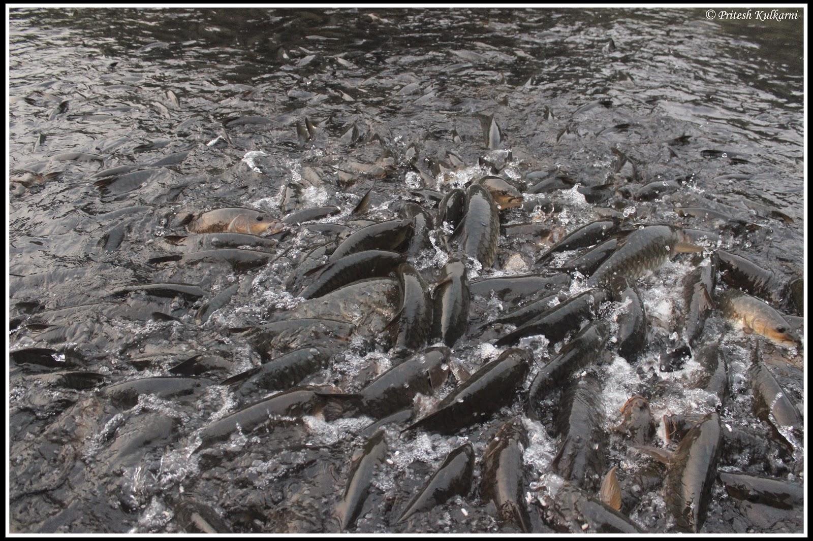 Mahseer fish at Shishila