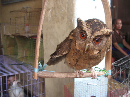 Burung Gue Apa Makanan Burung Hantu Celepuk