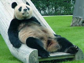 gambar binatang lucu panda