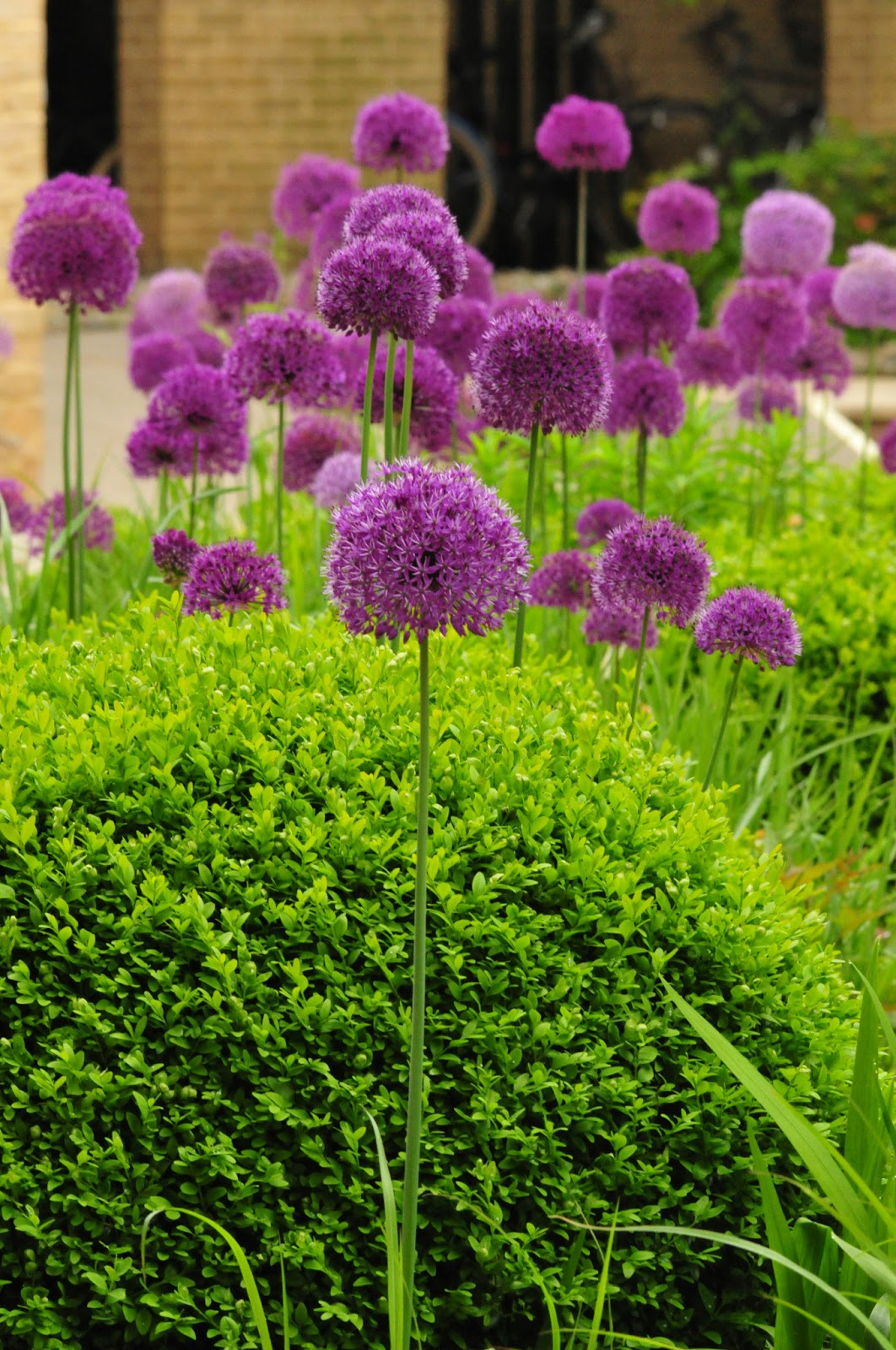 worcester college gardeners allium hollandicum 39 purple. Black Bedroom Furniture Sets. Home Design Ideas