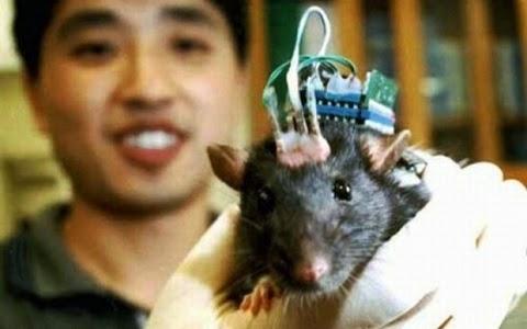 O estudo monitorou a atividade destas células por meio de eletrodos enquanto os ratinhos exploravam uma nova área. Quando os ratos dormiram, foi monitorada a atividade cerebral dos bichinhos no momento em que a célula de localização foi acionada. Então, um eletrodo estimulou as áreas do cérebro ligadas à recompensa.