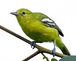 Tips Memilih Burung Sirtu Cipoh Bakalan Ombyokan
