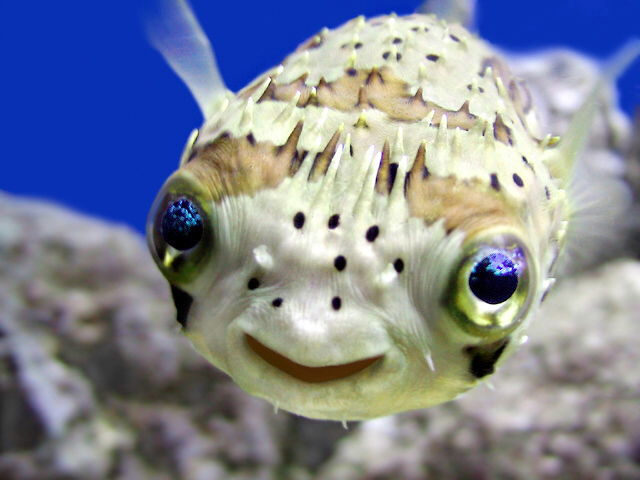 Puffer fish for Puffer fish aquarium