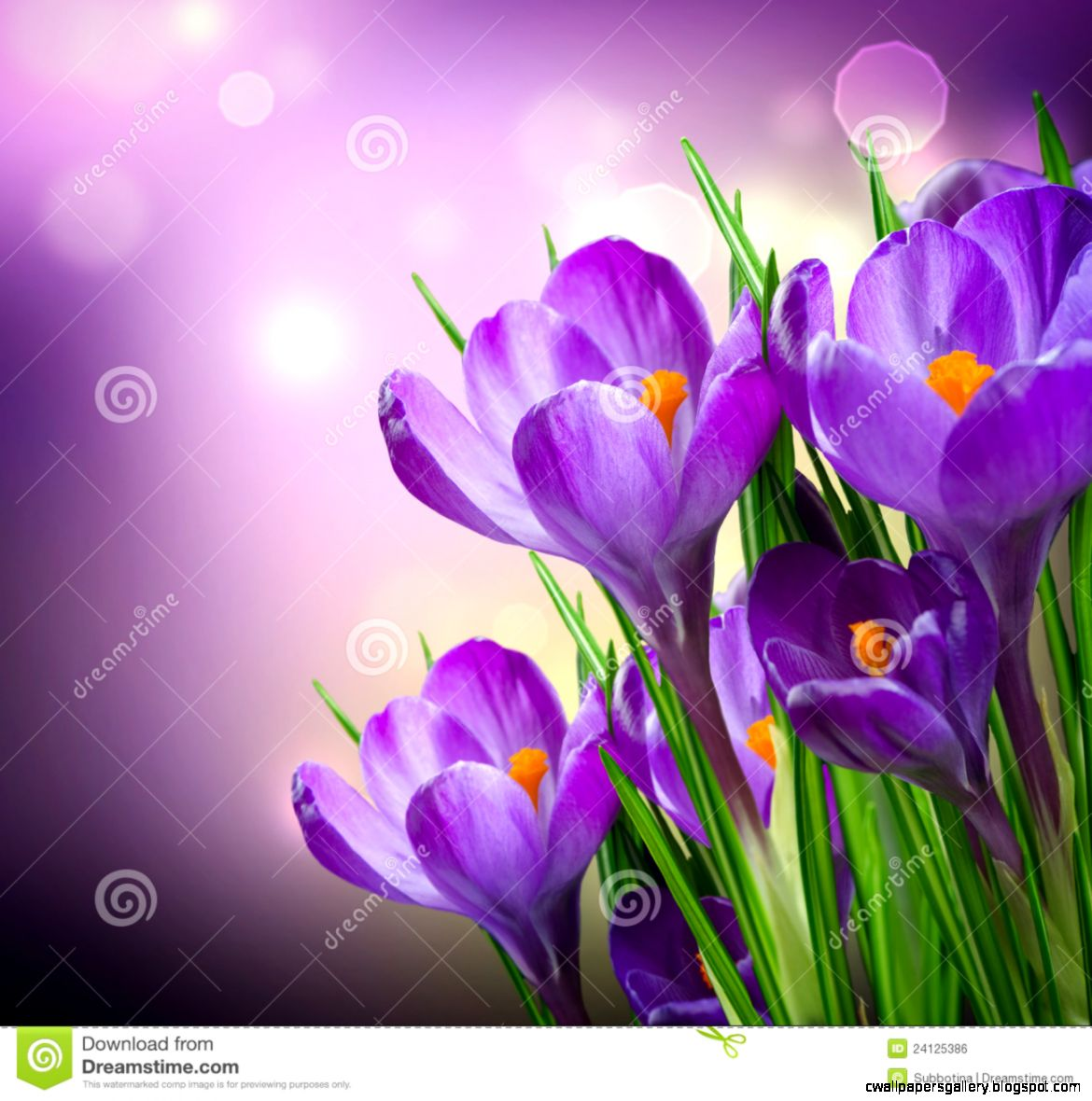 Crocus Spring Flowers Royalty Free Stock Image   Image 24125386
