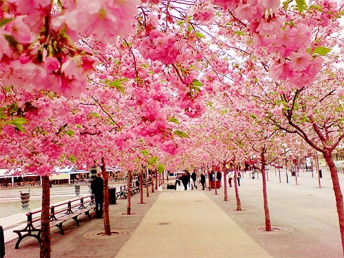 [Image: Cherry-Blossom-Walk-Sakura-Japan.jpeg]