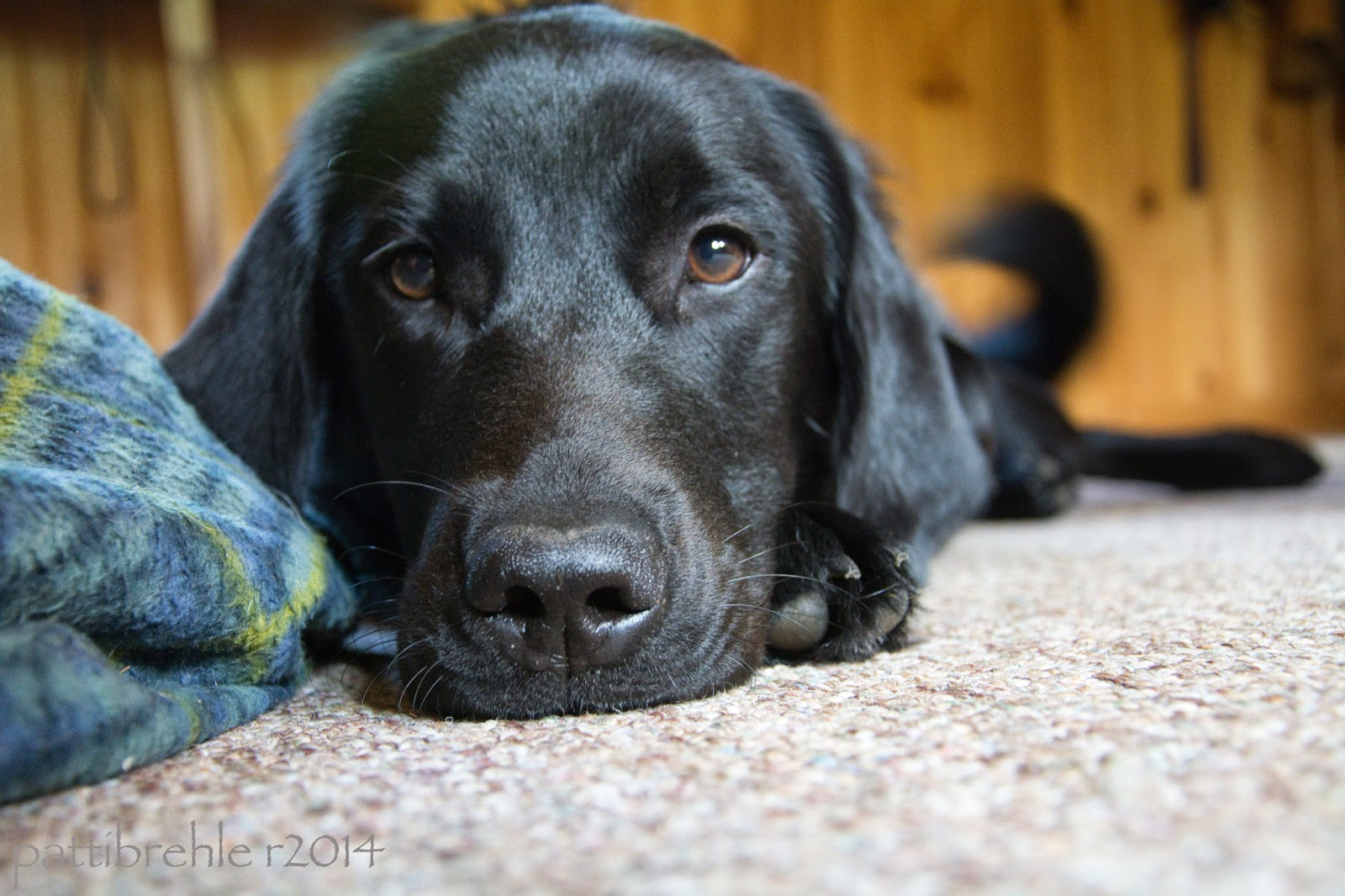 A floor level shot of a black lab/golden mis puppy. She is looking right into the camera, the floor is a berber carpet. There is a blue and green plaid dog bed to the left. The background is out of focus and it is a pine wall.
