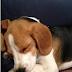 Προφυλάσσει το εμβόλιο της γρίπης τον σκύλο;