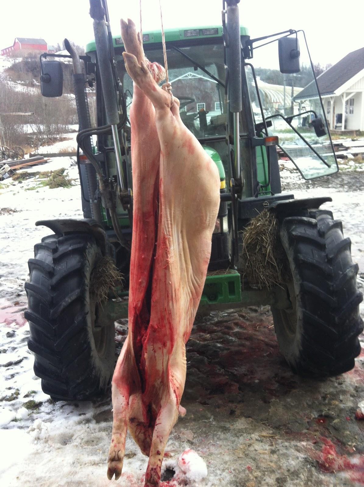 Skolding av gris