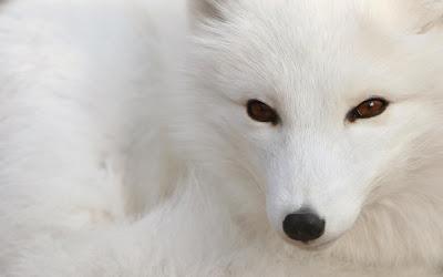 Fondo de escritorio, Zorro blanco polar