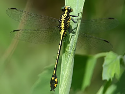 Riverine Clubtail Dragonfly