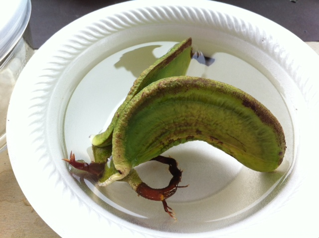 Mango Seeds Germination | www.pixshark.com - Images ...
