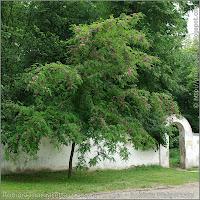 Robinia margaretta 'Casque Rouge' Growth Habit of flowering plant  - Robinia Małgorzaty 'Casque Rouge'     pokrój kwitnącej rośliny