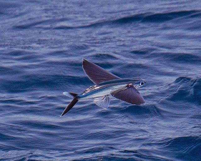 Exocoetidae: El pescado que vuela