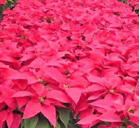Poinsettia-Red.bmp