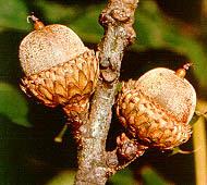 el roble negro y su relacion con la fauna Quercus vetulina