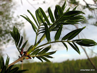 Sorbus commixta Japansk rönn