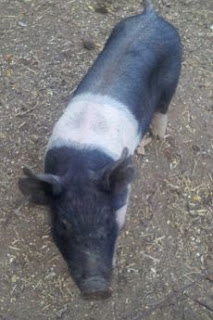 Hampshire pig, pig farm, pig, pigs, black and white pig