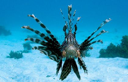 سمكة..اسد البحر