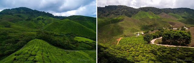 cameron valley bharat tea plantation