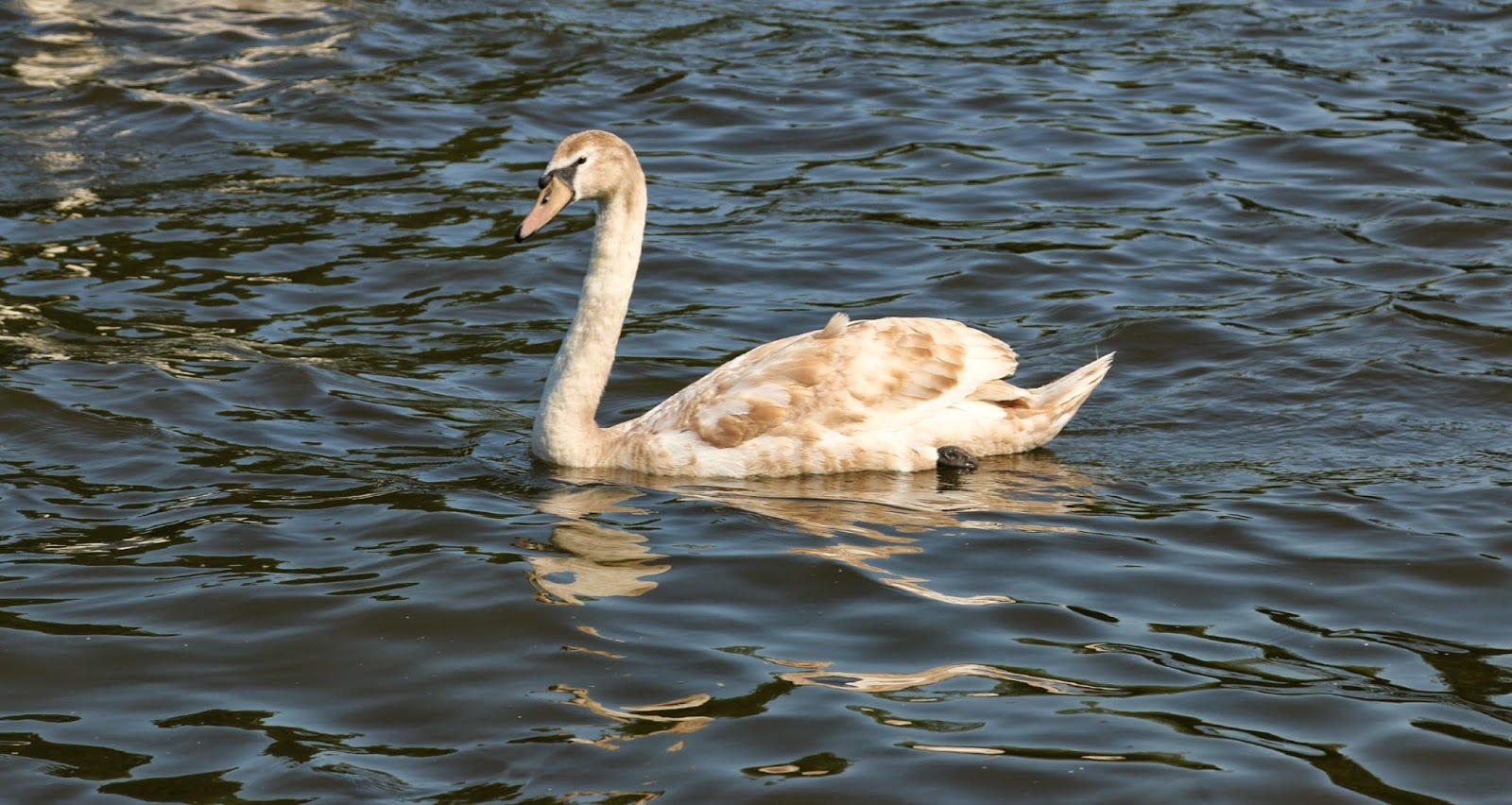 swan. Marlow