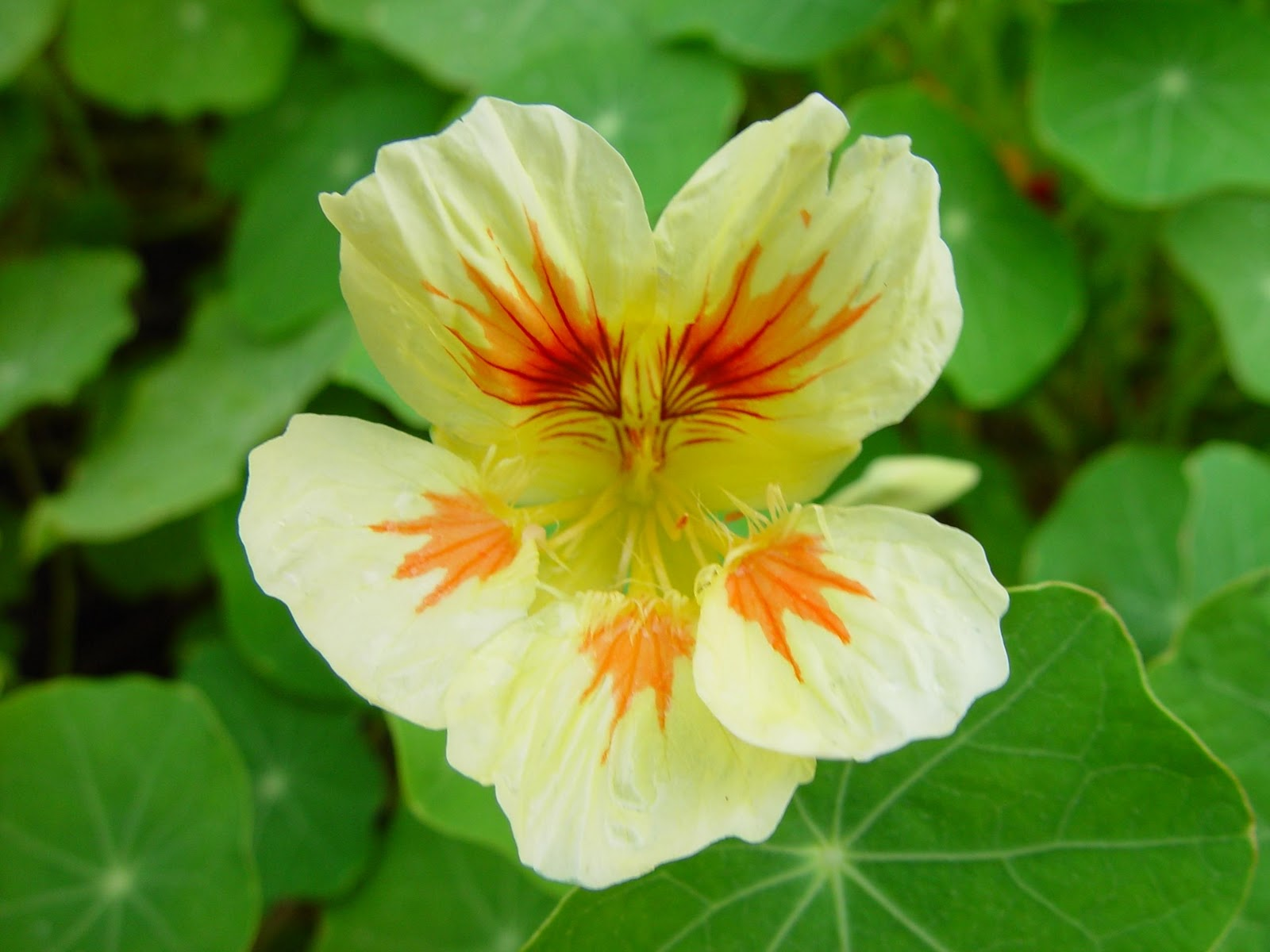 flowers for flower lovers Nasturtium flowers photos