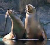 foca monje del mediterraneo