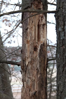 dead pine with woodpecker holes