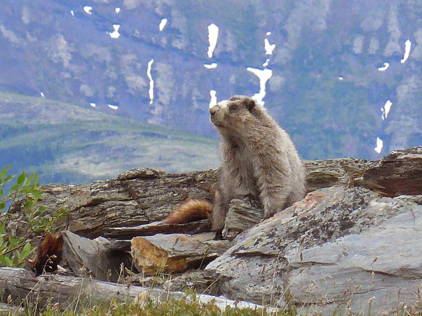 Hairy Marmot