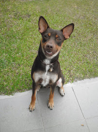 my dog Rexy a German Pinscher