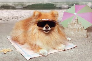 pomeranian dog puppies dogs beeders vector mini champion wallpaper