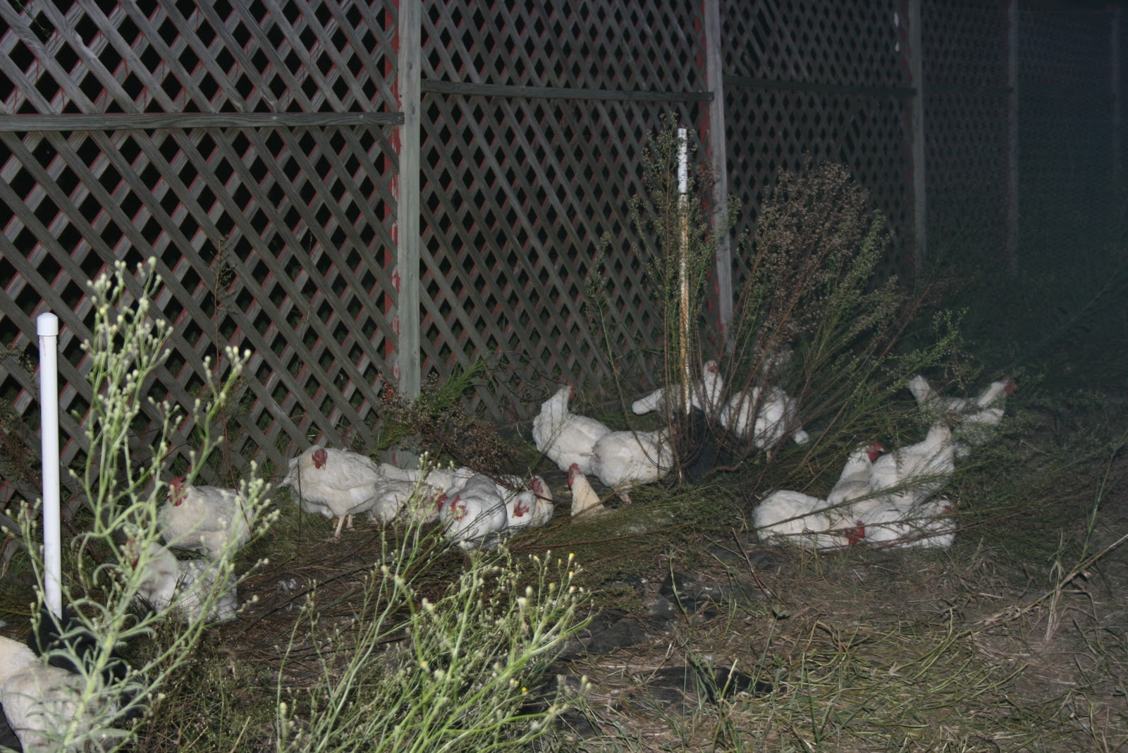 Challenged Survival: The New Chicken Pen