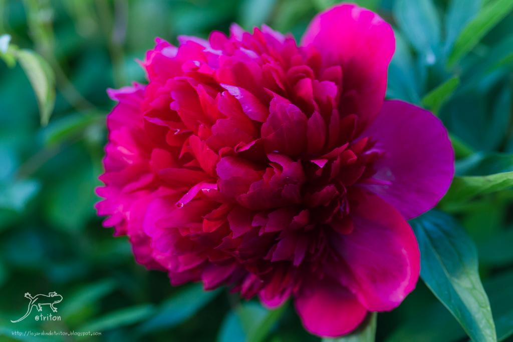 Le jardin de triton pivoine rouge belle inconnue - Rouge comme une pivoine ...
