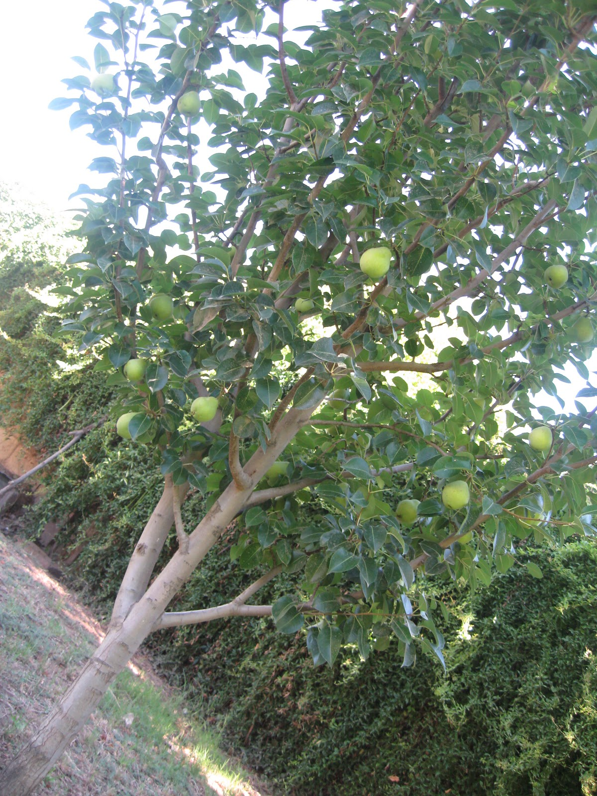 sweet life garden the kieffer pear tree
