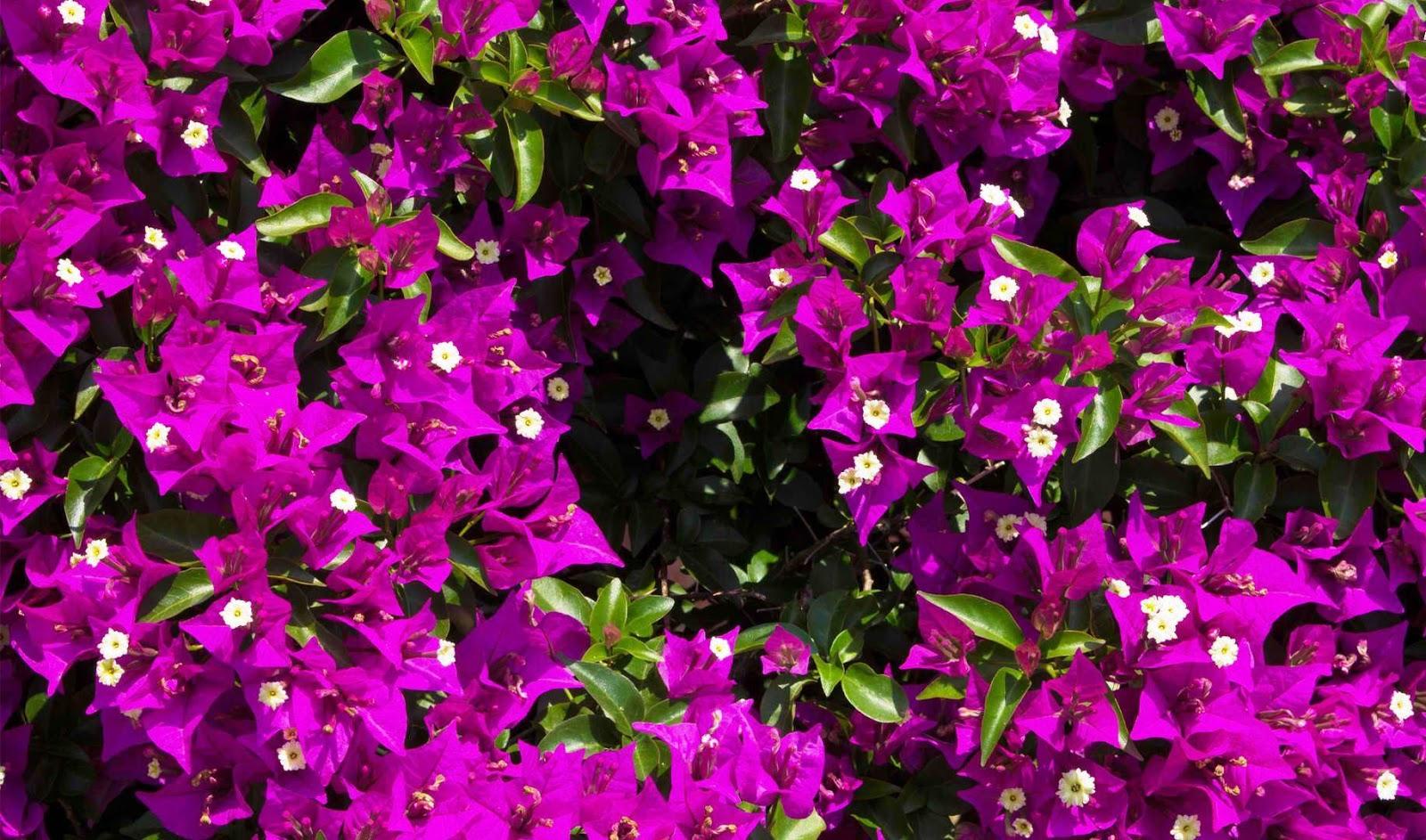 El Viajero Paper Flowers Bougainvillea In Bloom
