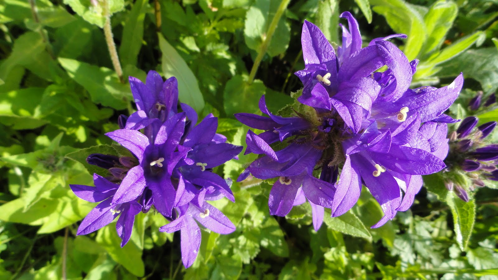 Dr Tsais Blog The Unknown Purple Flower In Our Garden And In