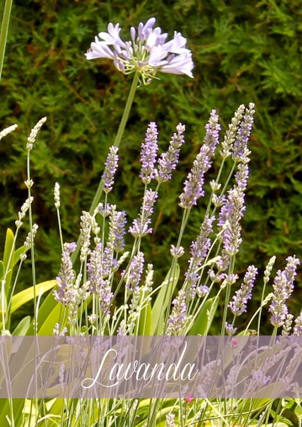 Remedios naturales con plantas la lavanda guia de jardin for Jardines de lavanda