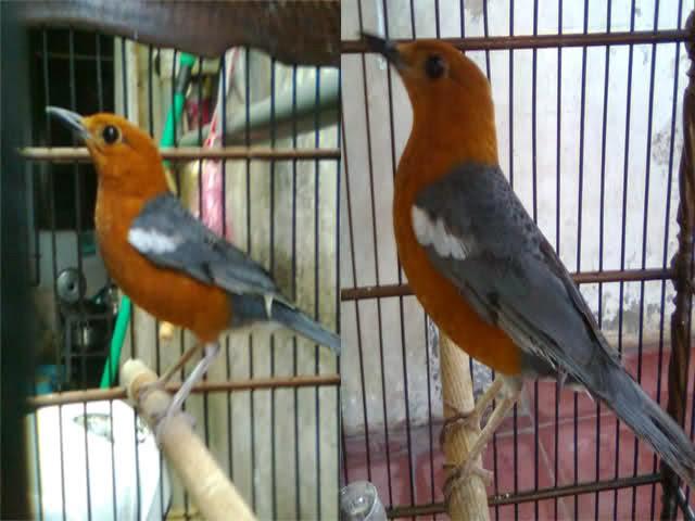 Ciri Burung Anis Merah Jantan dan Betina