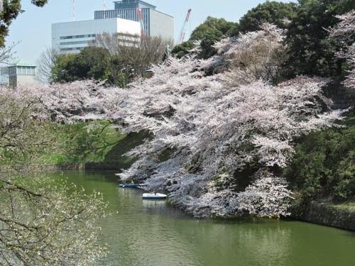 千鳥ヶ淵の桜01