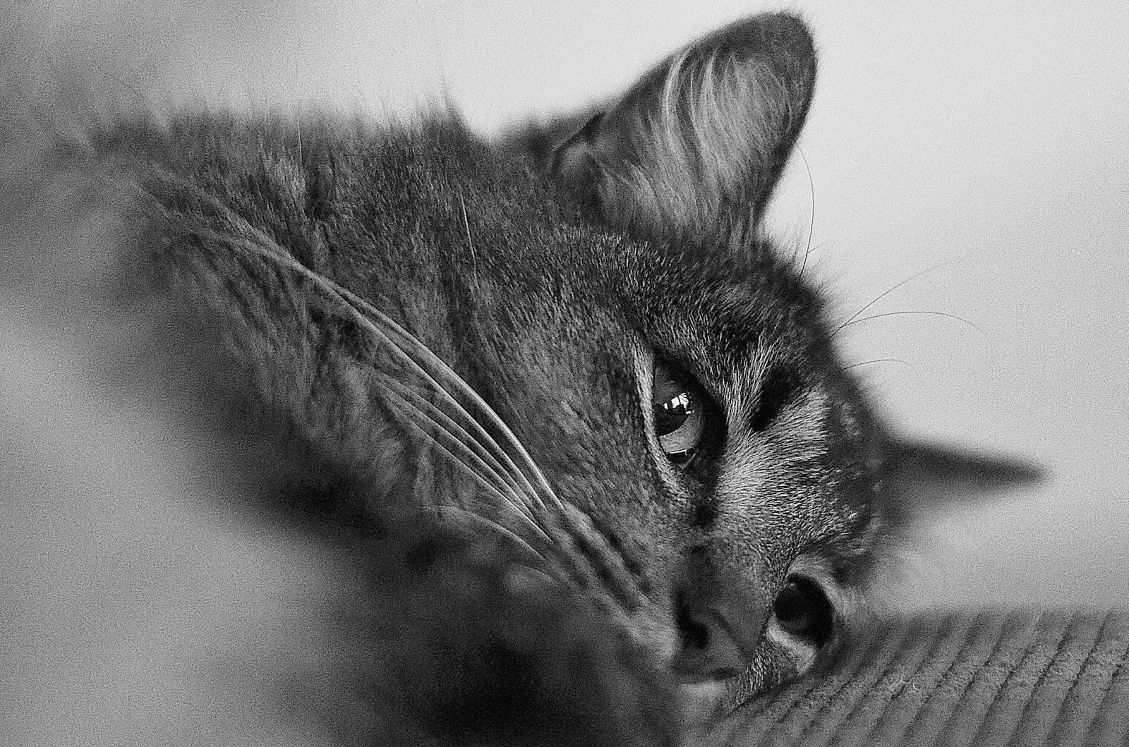 cat, black and white, photograph, katt, fotograf, photographer, close up, djur, husdjur, närbild, svartvit, svartvitt