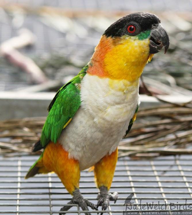 caique black-headed jadewelchbirds curious parrot jade welch birds wild type