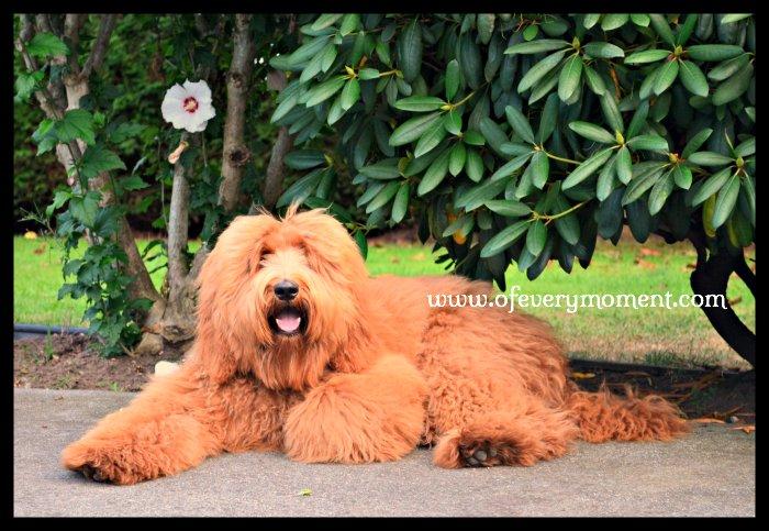 dog, Golden Doodle