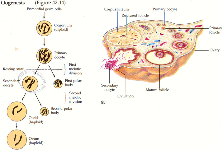 Gametogenesis proses spermatogenesis dan oogenesis serta hormon tingginya kadar fsh dan lh akan menghambat sekresi hormon gnrh oleh hipothalamus sedangkan peningkatan kadar estrogen dan progesteron dapat menstimulasi ccuart Image collections