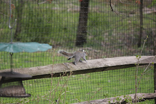 Squirrel running along the fence